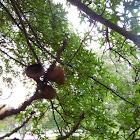 scarlet oak?