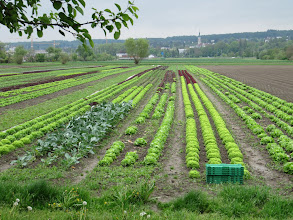 Photo: Day 34 - Rows of Lettuces #2