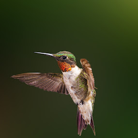 by Lyle Gallup - Animals Birds ( stop action, bird, flight, flying, hummingbird, male, ruby throated, animal,  )