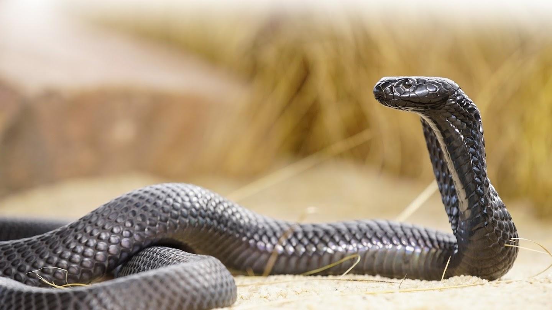 Watch World's Deadliest Snakes live