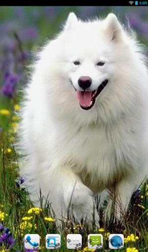 American Eskimo Dog Theme