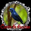 Azulaõ Fêmea Cantos e Dicas