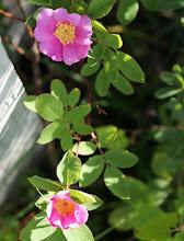Photo: Wild rose