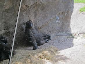 Photo: Gorilla at Disney Animal Kingdom
