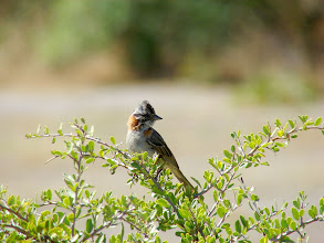 Photo: Rufous-collared sparrow - La Campana National Park - Chile - Nov 15, 2010