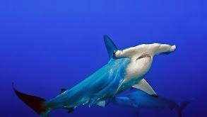 Sharks! thumbnail