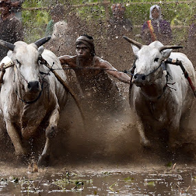 The Pacu Jawi by Achmad Tibyani - Sports & Fitness Other Sports ( indonesia, sports, cows race, pacu jawi, west sumatera )