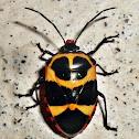 Arocera spectabilis