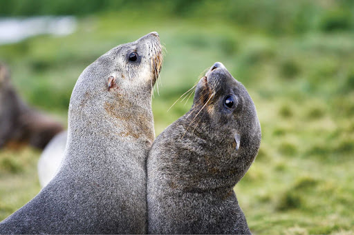 Two Antarctic fur seal pups play at the abandoned whaling station at Grytviken during a Lindblad Expeditions visit.
