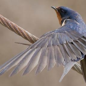by John LeBlanc - Animals Birds ( birds, swallow barn )