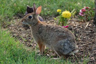 Photo: Day 81 ... Our frontyard rabbit