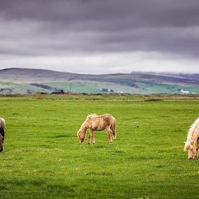 Icelandic Horses by Inderjit Singh - Landscapes Travel