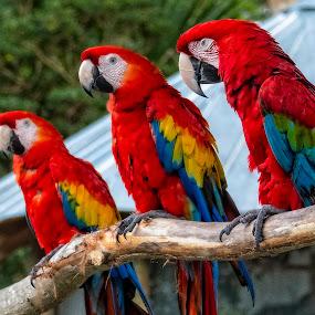 3  Scarlet Macaws Perched by Sandy Friedkin - Animals Birds ( tropical, scarlet, macaws, birds )