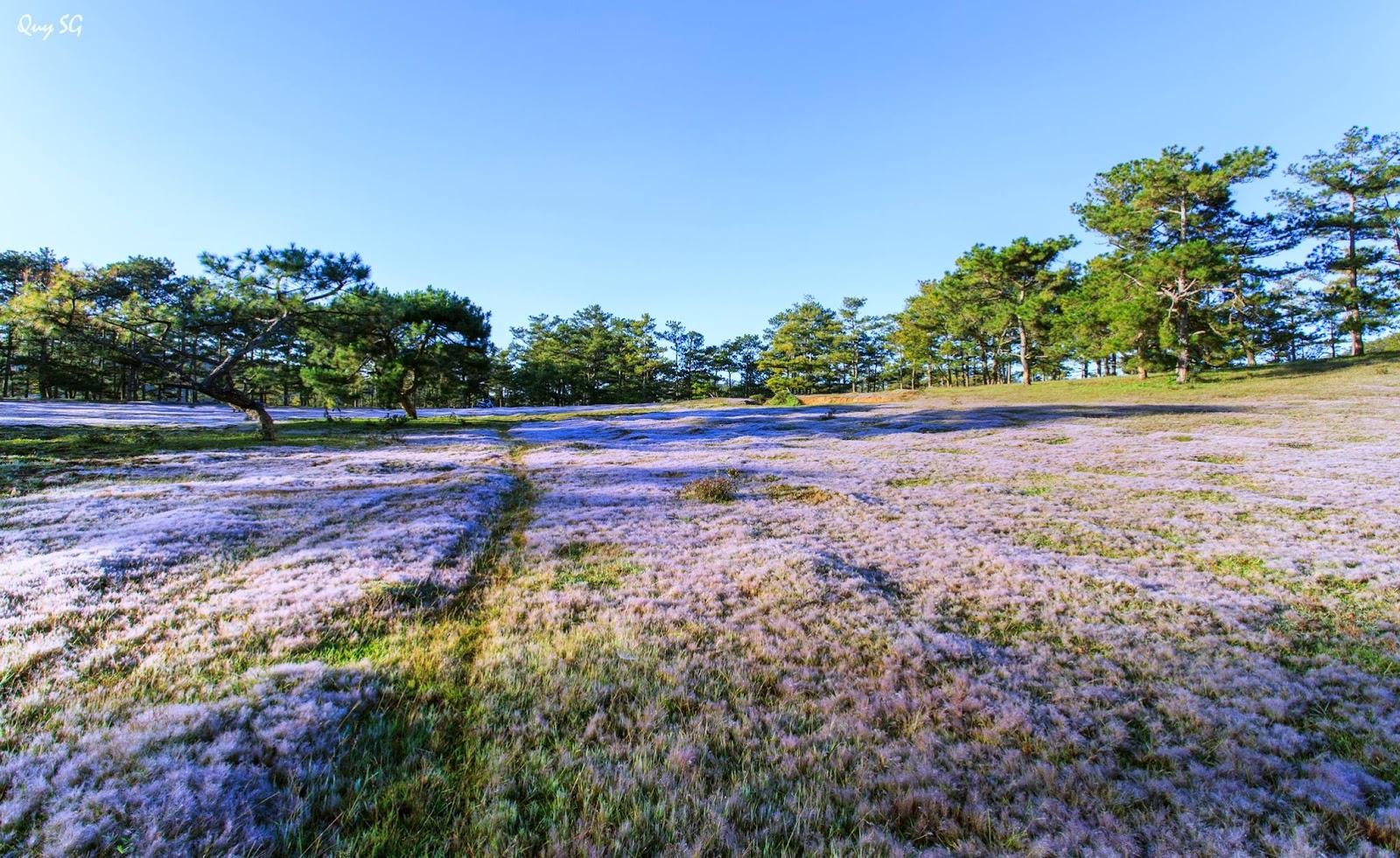 Đồi cỏ hồng phủ trắng xóa ngọn đồi
