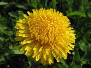 たんぽぽの花。菊のようです