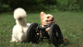 The Chihuahua and the Chicken thumbnail