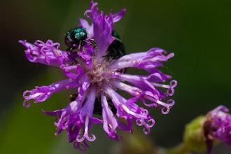 Photo: Many species of beetlesmay befound in flowers Muitas espécies de escaravelhos podem ser encontrados nas flores