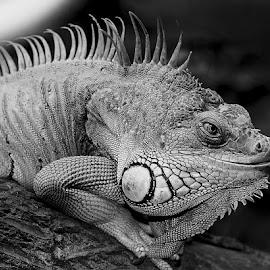 Red iguana by Gérard CHATENET - Black & White Animals
