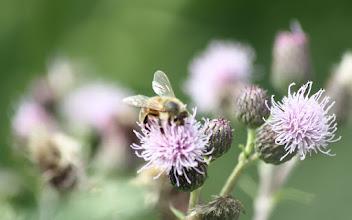 Photo: Bee on thisle (Circium arvense)