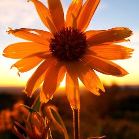 Golden Time by Vanessa Latrimurti - Nature Up Close Flowers - 2011-2013 ( wild flower, sunset, colorado, yellow, light )
