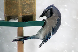 Photo: A very uncomfortable looking Blue Jay for #BirdPoker : Contortionists curated by +Phil Armishaw  Not the best shot, but I like the pose.