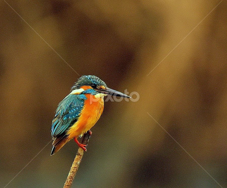 Common kingfisher by Manoj Kulkarni - Animals Birds ( single, common, blue, nature, bird, solo, branch, kingfisher, wildlife )