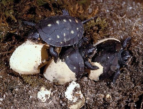 Resulta ng larawan para sa spotted turtle eggs