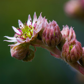 Flowering Hens & Chicks by Garry Dosa - Flowers Single Flower ( stack focused, succulent, macro, nature, outdoors, pink, flower )