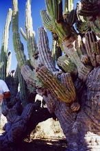 Photo: #028-Cactus dans le désert du Sonora