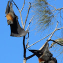 Grey-headed Flying Fox (colony July 2016)