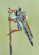 Photo: Asilus Sp.  http://lepidoptera-butterflies.blogspot.com/