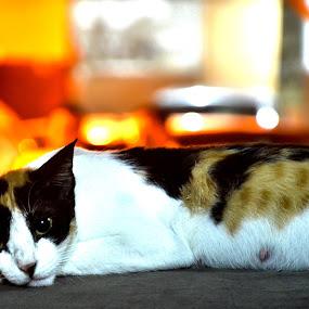 Resting Cat by Umair Nayab - Animals - Cats Portraits ( cat face, cat, cat eyes, cat portrait,  )