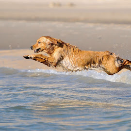 Go for a swim by Bjørn-Egil Johne - Animals - Dogs Playing