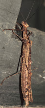Photo: Stick Insect - Mating