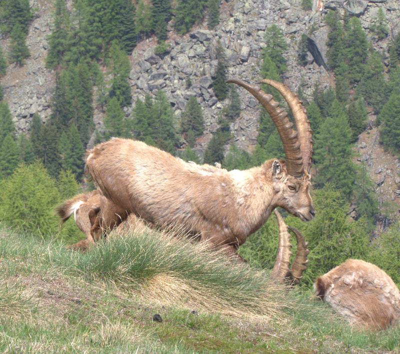 alpine ibex 3_rsz.jpg