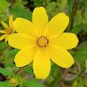 Long-Bracted Tickseed Sunflower