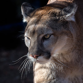 Mountain Lion by Dave Lipchen - Animals Lions, Tigers & Big Cats