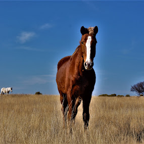 by Orpa Wessels - Animals Horses