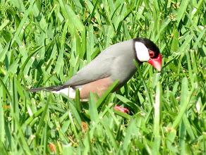 Photo: Java Sparrow in the grass atKanaloa at Kona, Howard and Laurel's rented condo.