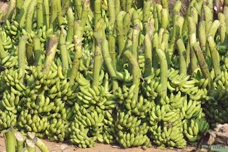 Photo: Plantain - Banana Bhubaneshwar Orissa