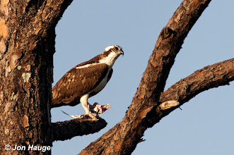 Photo: An osprey feeds on a fish at the Gulf State Park on Monday, October 17,2011