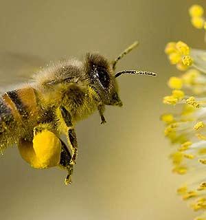 polen-de-abejas.jpg