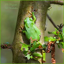 tree frog by Fok Vleeshakker - Animals Amphibians ( green, kikker, tree frog, water )