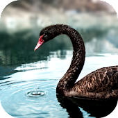 Black Swan Video Wallpaper