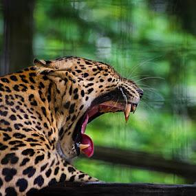 Cheetah by Fitria Ramli - Animals Lions, Tigers & Big Cats ( canine, wild, cheetah, animals, tiger, tusk, nikon,  )