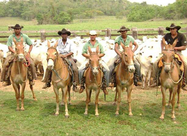 Mules (offspring from Quarter Horse-type horse mares and Pêga donkey-type), in a beef farm, located in the Mato Grosso state, Northern Brazil. Note a group of Zebu beef cows in the background (Courtesy of Rodrigo Cervi, DVM, Cuiaba, MT, Brazil).