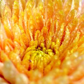 After rain by Vivek Sharma - Flowers Single Flower ( vivekclix, rain, dew drops, nature, raindrops, flower )