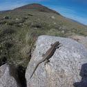 Lagartija carpetana / Cyrens Rock's Lizard