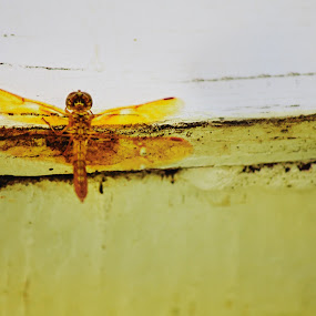 Yellow Wings by Julie Moses - Animals Insects & Spiders ( orange, detail, wings, yellow, insect )