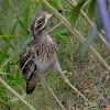 Indian Stone Curlew